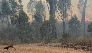 A rabbit flees a bushfire near the town of Rylstone, northwest of Sydney, Australia, in November 2009. Eastern Australia was identified in a new study as one of many land ecosystems around the world that are most sensitive to climate variability.